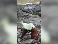 Kendilerine Şemsiye Yapan Orangutanlar