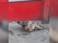 Londra Sokaklarında Güvercin Avlayan Boa Yılanı
