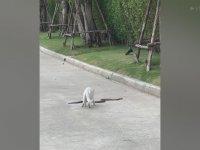 Yürek Yiyen Kedinin Kral Kobra ile Uğraşması