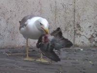 Güvercini Bütün Olarak Yutan Martı
