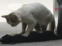 Araba Çarpan Dişisine Kalp Masajı Yapan Kedi