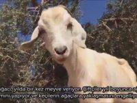 Yağ Üreten Keçiler