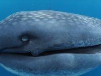 Balina Köpek Balıklarının Ürkütücü Ağzı