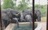 Otelin Havuzundan Kana Kana Su İçen Filler