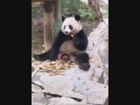 Hem Yiyip Hem Sıçan Panda