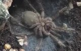 Derisini Değiştiren Tarantula