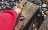 Kaz Yavrularını Tren Yolunun Diğer Tarafına Geçirmek