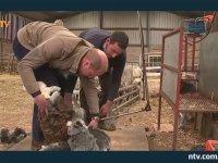 Çiftçilerle Birlikte Koyun Kırkan Duvar Ören Kraliyet Ailesi
