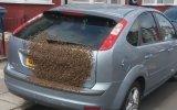 Arabanın Bagajına Oğul Yapan Arılar