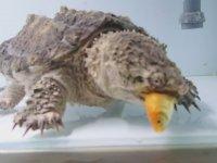 Dikenli Su Kaplumbağasının Japon Balıklarına Saldırması