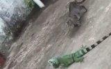 Kediye Çalıştığı Yerden Sormayan İguana Reyiz