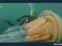 Dünyanın En Büyük Denizanasının Görüntülenmesi
