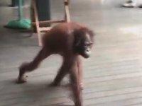 Adamın Yemeğini Çalan Orangutan