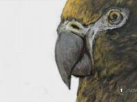 Bir Metre Boyunda Dev Papağan Heracles Inexpectatus