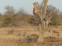 Leoparın Avına Göz Diken Sırtlanların Avucunu Yalaması