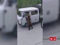 Rusya'da Yol Kesip Haraç Toplayan Ayı