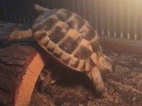 Uçuş Deneyiminde Çakılan Kaplumbağa
