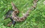 Yediği Köpeği Kusan Piton Yılanı