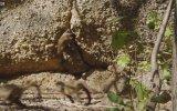 Yılan Gören Maymunlar  Sürpriz Sonlu