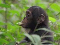 Meyve Yemeyi Öğrenen Şempanze