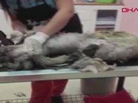 Tıraş Olduktan Sonra 10 Kilodan 6,5 Kiloya Düşen Köpek