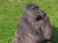 Sümüğünün Tadına Doyamayan Goril