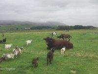 Yavru Keçilerin Oyun Parkına Dönüşen İnek