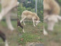 Zombi Koyunun İlginç Hali