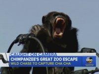 Japonya'da Hayvanat Bahçesinden Firar Eden Şempanze