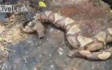 Yılanın kopuk başı kendi bedenini soktu