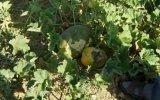 Karpuz ve kavun tarlalarını fareler istila etti - AFYONKARAHİSAR
