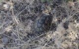 Makilik alandaki yangında alevlerin arasında kalan kaplumbağa - MUĞLA