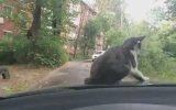 Araba Üzerinde Uyuyan Kediyi Şakalamak