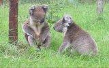 Koalalar Kavga Ederse