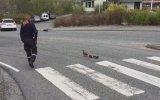 Danimarka Polisi'nin Ördek Ailesine Otobanda Eşlik Etmesi