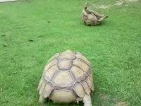 Göz Yaşartan Kaplumbağa Dayanışması