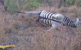 Son Şakasını Yapan Zebra 18