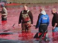 Gelenek Adı Altında Balinaları Katleden Faröeliler (+18)
