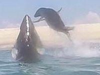 Köpek Balığından Kaçmaya Çalışan Fok Balığının Zor Anları