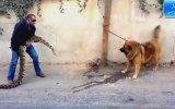 Boa Yılanını Görünce Geri Vites Yapan Köpek