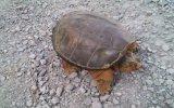 Liselinin Kaplumbağa ile İmtihanı