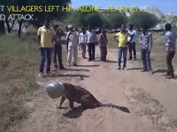 Kafasına Çömlek Geçen Leoparın Akıbeti