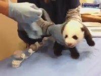 Yavru Pandanın Çıkardığı İlginç Sesler