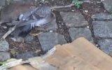 Ölümüne Kavga Eden Fare ve Güvercin