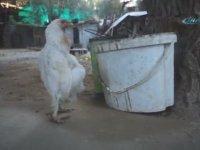 Penguen Gibi Yürüyen Tavuk