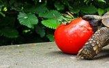 Domates Yiyen Kaplumbağa