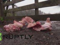 Mülteci Kampına Domuz Kafası Bırakmak - Hollanda