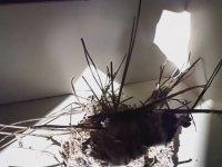 Böcek Reyiz - Erasus Yuvasının Detayları