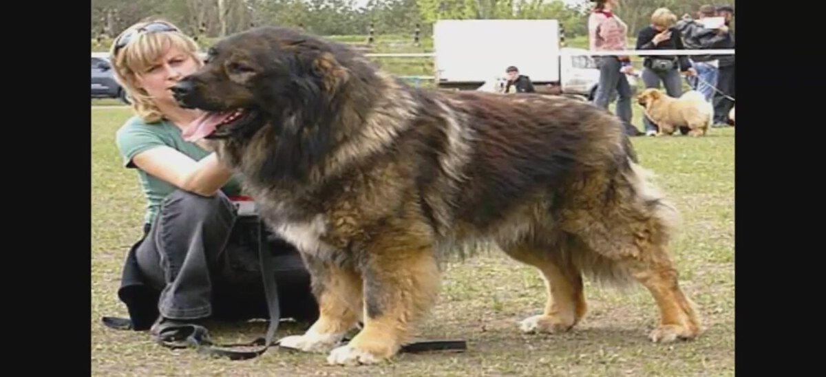 Biggest Dog Found On Earth | Caucasian Shepherd | Kangal ...