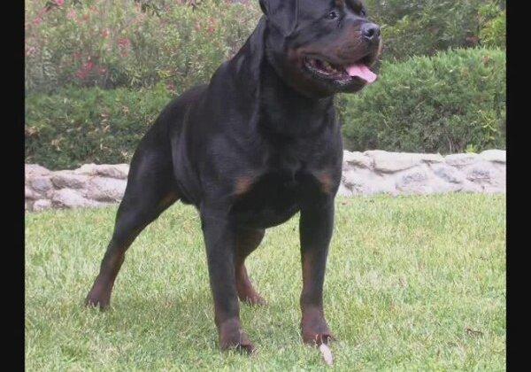 Rottweiler Vs Pitbull Fight Video Liveleak.com rottweiler against ...